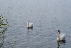 web_swan