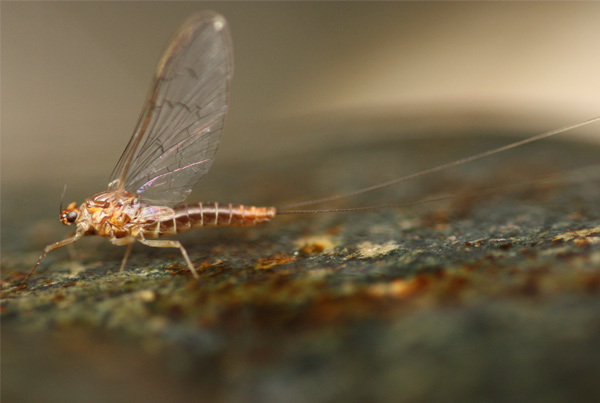 Evolution of mayflies (Ephemeroptera) on Atlantic Ocean islands using genomics