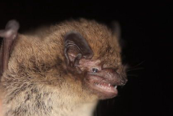 Dietary analyses of <h7>Nyctalus noctula</h7> and <h7>Pipistrellus nathusii</h7> &nbsp;living in an agricultural landscape